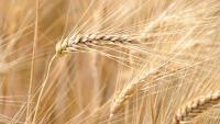 Царевицата, соята и пшеницата са готови за навлизане на бичи пазар