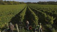 Повече от половината шампанско няма да бъде произведено тази година