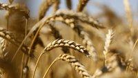 Светът изкупува европейската пшеница, както никога досега