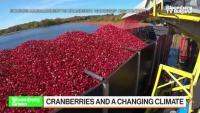 Затоплянето на климата затруднява производителите на червена боровинка в Масачузетс, част 1