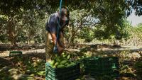 Бизнес за милиарди се разраства - мангото е новото авокодо